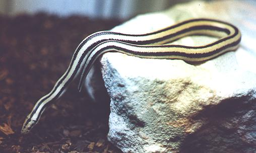 Cocoa, a Mexican Rosy Boa and personal friend of mine.